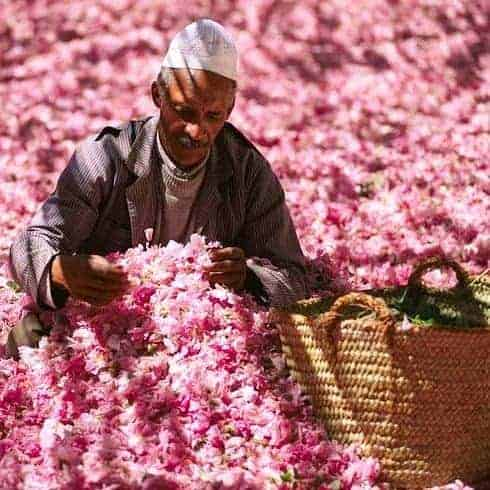 Men collecting rose petals in Moroccan rose festival in the sahara