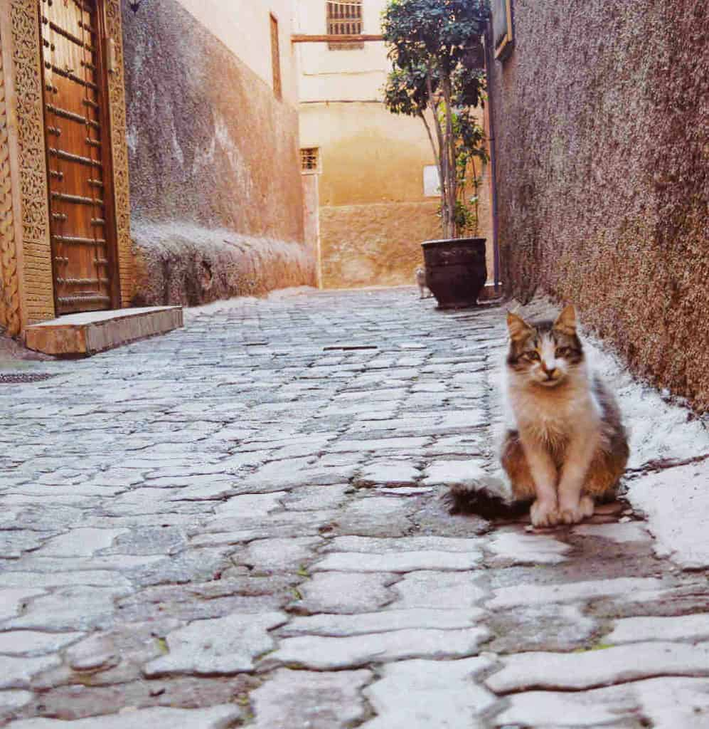 morocco street cat marrakech