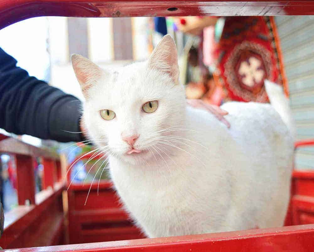 white cat morocco
