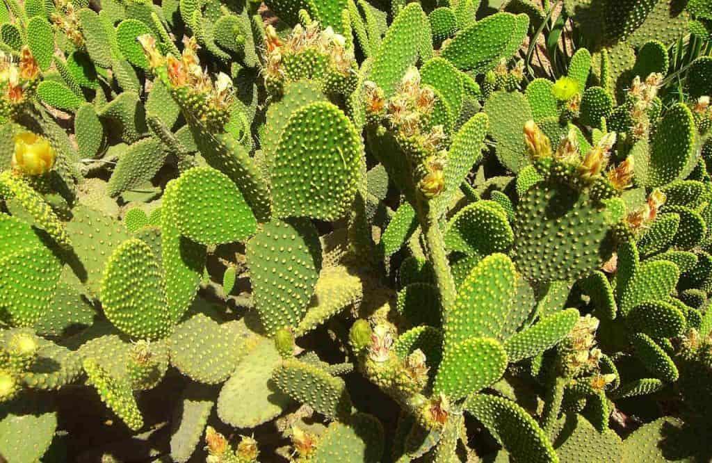 organic prickly pear oil morocco